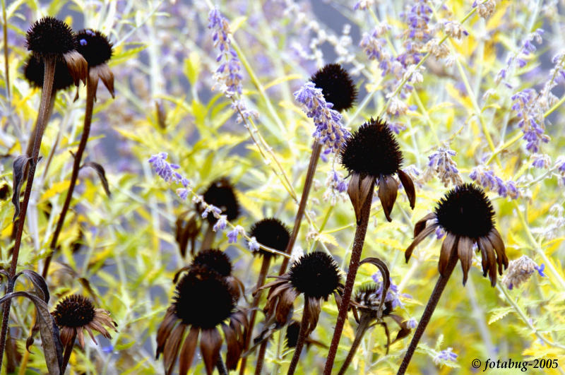Old cone flowers