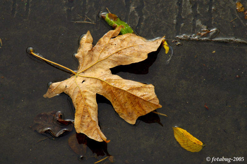 Leaf in puddle